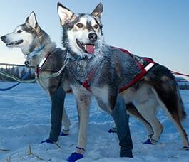 Full-Day-Alaska-Dog-Sledding-Tours